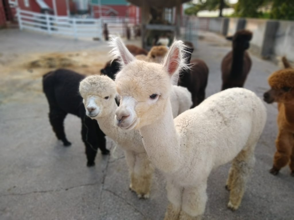 Some of the cute alpacas