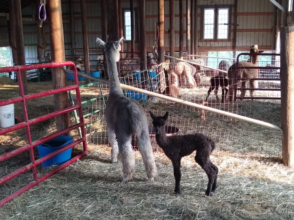 Day old baby alpaca