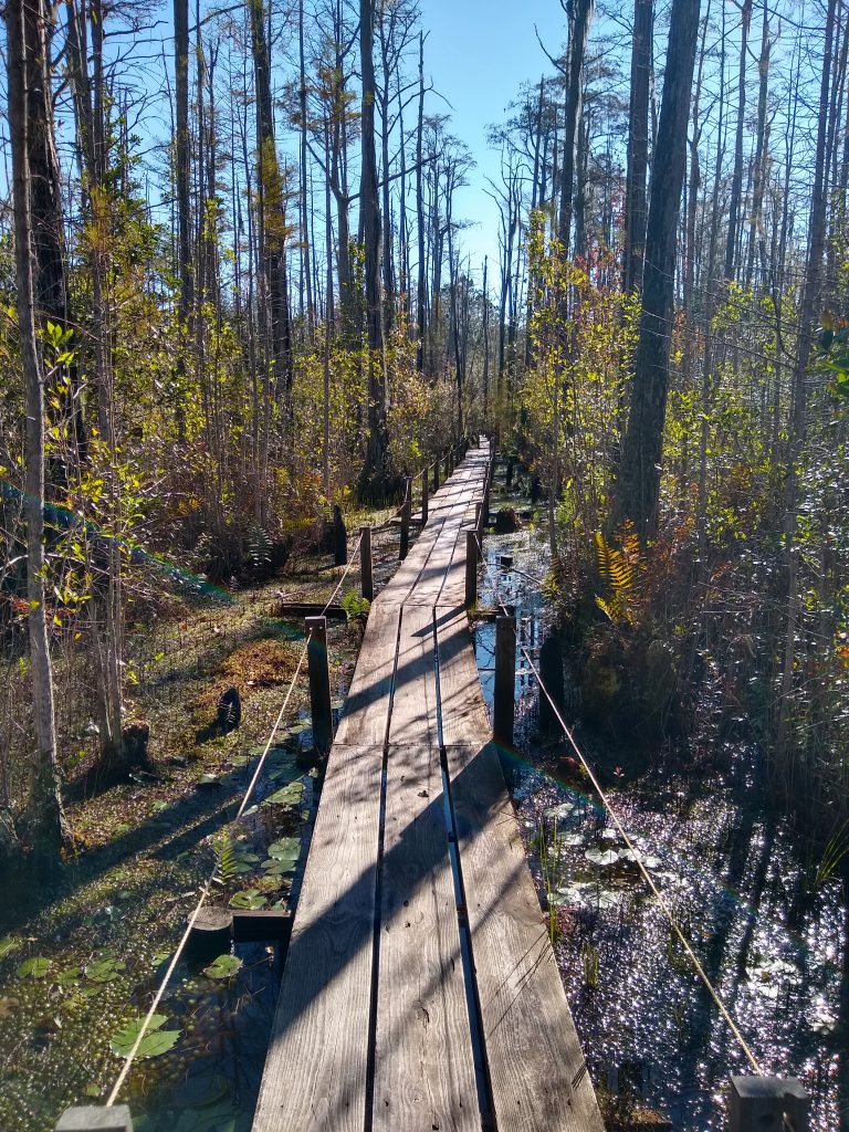 Primitive walking path in the swamp